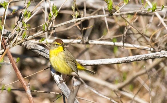 Paul E. Miller of Vernon, Vt., got this this of a palm warbler, spring 2017.
