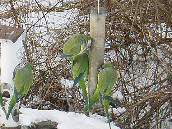 Bob Weiss of Westport, CT., had these visitors to his backyard feeding station in Dec. 2013. Monk Parakeets are sometimes found at backyard feeders in coastal Connecticut.