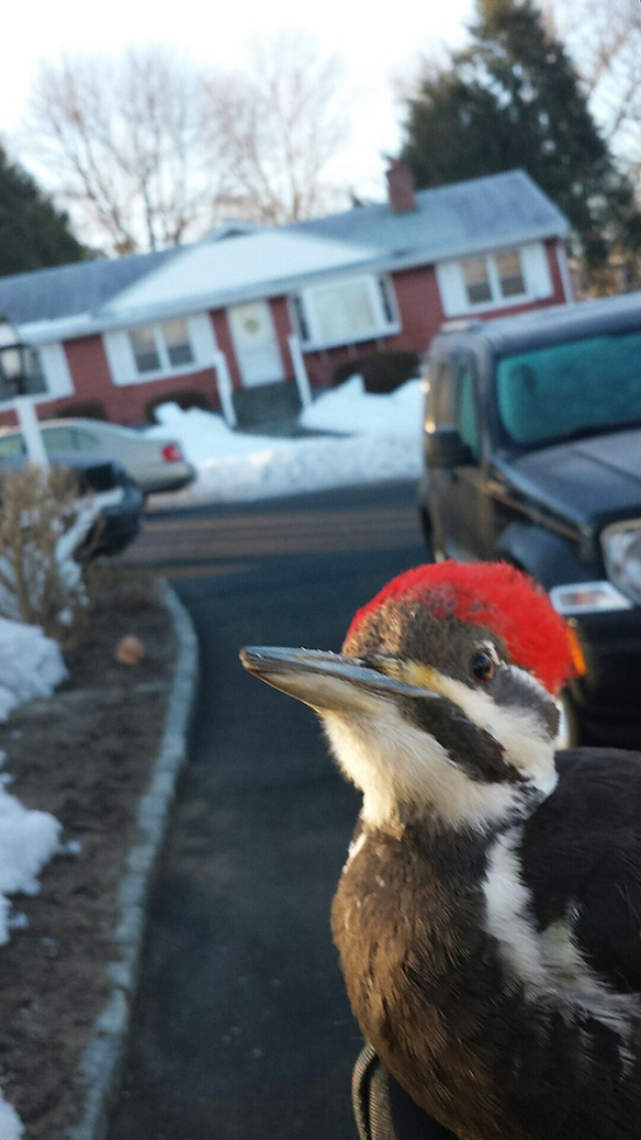 Bob Bray of Norwalk, Connecticut, was returning from walking his dog one March 2014 morning when he heard a thud and found this Pileated Woodpecker on the ground. He held it for a while and the bird flew off —thankfully.