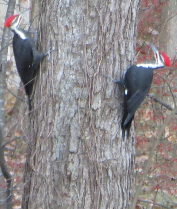 Pileated Woodpeckers taken Nov. 2013 by  Jacqueline Gorgues in Keene, N.H.