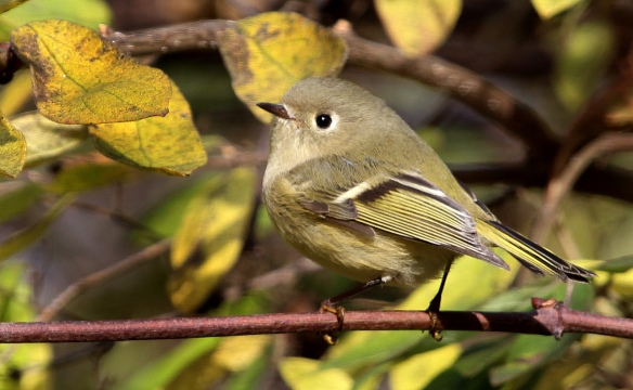 Photo by Chris Bosak A Ruby-crowned Kinglet perches on a branch in New England.