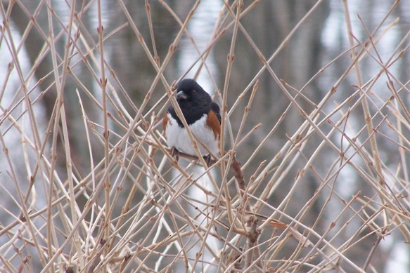 Peter Hermance of Wilton, Conn. capture a photo of this Eastern Towhee at the beginning of a snow storm in Jan. 2014.