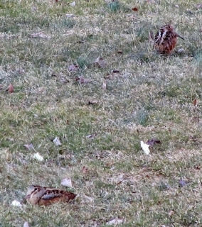 Rosalie Boucher captured this photo of two American Woodcocks in her yard in Norwalk, Conn., in March 2014.