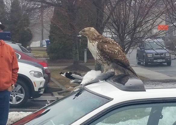 Judie Szuets of Norwalk, Conn., got this photo of a Red-tailed Hawk eating a Ring-billed Gull on top of a car in March 2015. Szuets said the neighbors watched the unfazed hawk eat the meal for several minutes.