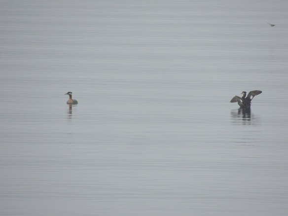 Carol sent in this photo of Red-necked Grebes on Spofford Lake in southwestern New Hampshire. She saw them in the spring.