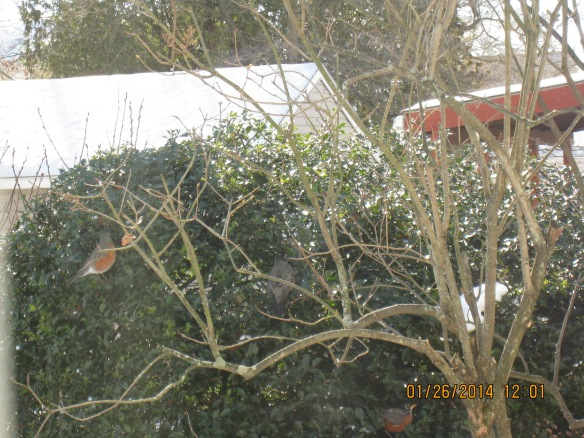 Ginny Tyburski of Norwalk, Conn., photographed these robins during a Jan. 2014 winter day.