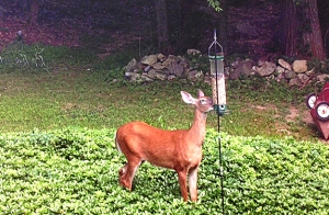 Here's a bold white-tailed deer taking bird seed from a birdfeeder. Photo submitted by Doris McKee