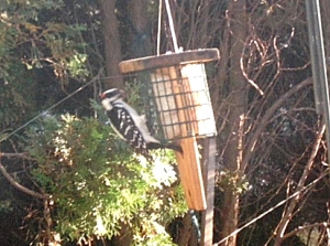 Here's a downy woodpecker photo submitted by William Kenney.