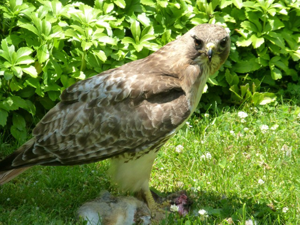 Dick Alley of Connecticut saw this scene of a Red-tailed Hawk taking and eating a small rabbit. It was a prime example of the laws of nature, sometimes cruel but very real, wrote Dick, a long-time fishing columnist for The Hour newspaper.