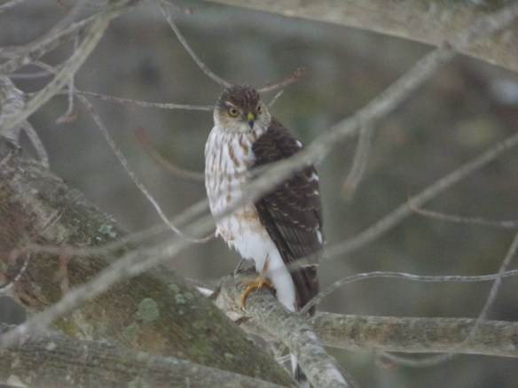 Joyce Campbell-Counts of Alstead, N.H., got this shot of a sharp-shinned hawk.