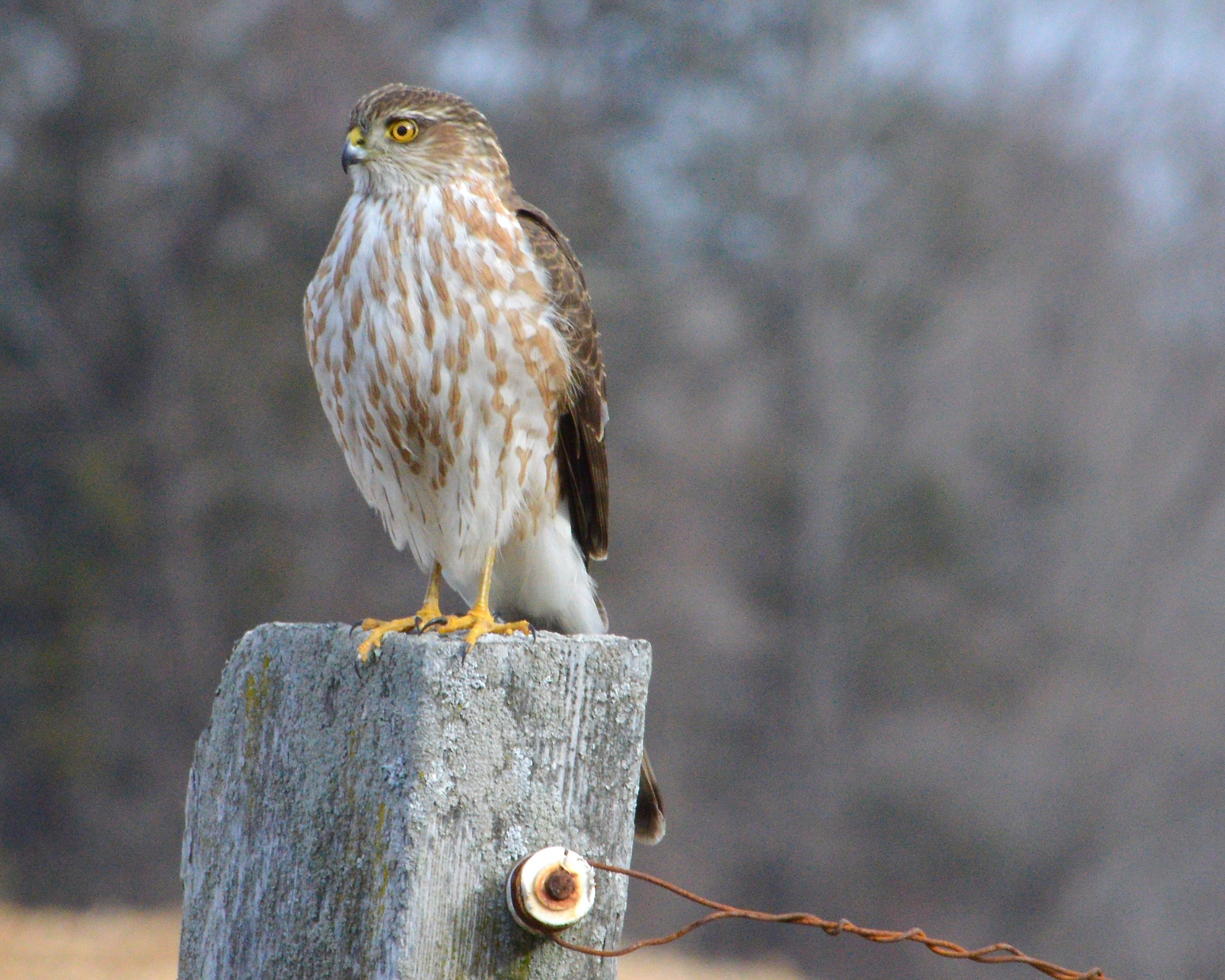 Teenager Hailey Sinon got this great shot of a Sharp-shinned Hawk at a horse farm in Southwick, Mass.