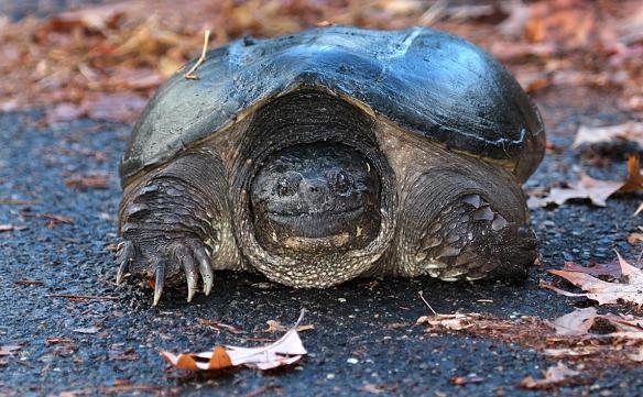 Photo by Chris Bosak Snapping turtle in cemetery in Darien, CT, Nov. 2013.