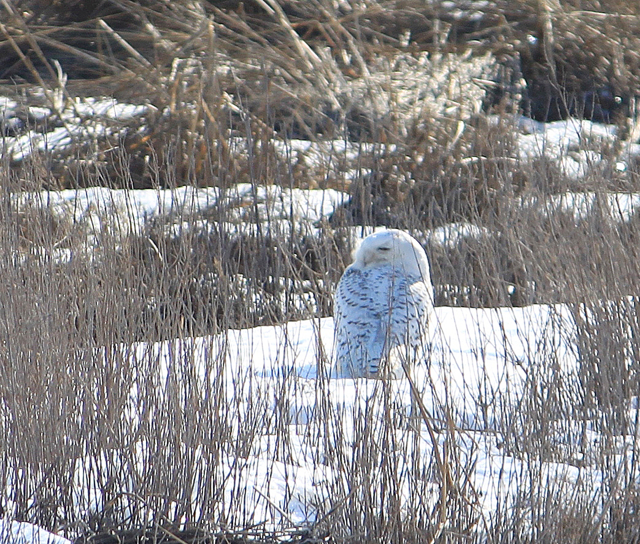 Rich Jenkins got this shot of a Snowy Owl at Silver Sands State Park, Milford, in late February 2014.