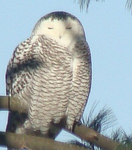 Snowy Owl in Hinsdale, N.H., taken by L.Grimes., January 2014.