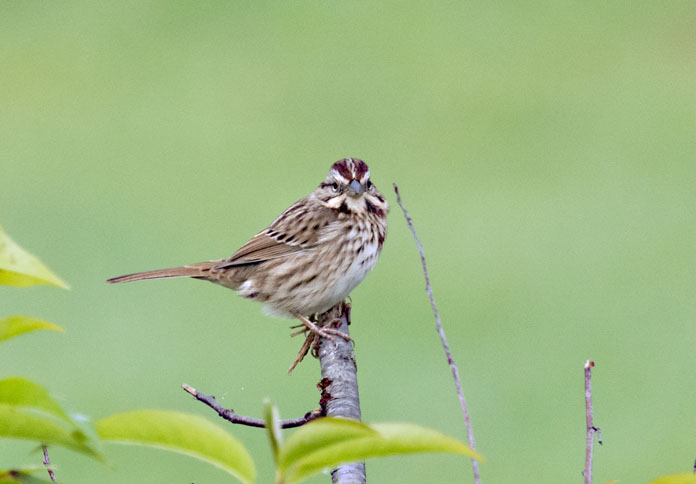 Paul E. Miller of N.H. captured this nice shot of a Song Sparrow in Vernon, Vt.