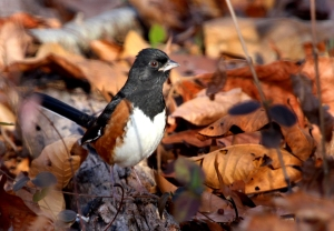 Photo by Chris Bosak An Eastern Towhee at Selleck's/Dunlap Woods in Darien, Nov. 2013.