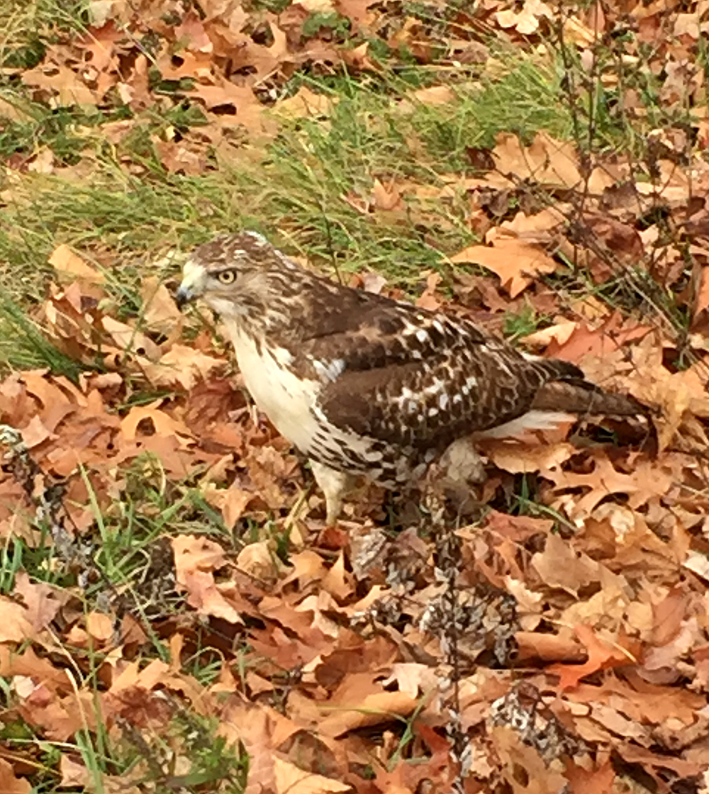 Vicky Kelly got this photo of a Red-tailed Hawk while she was walking along the Norwalk River in southwestern Connecticut on New Year's Day 2016.