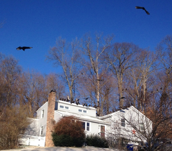 Janet of Norwalk, Conn., got this photo of Turkey Vultures congregating at a house in winter 2016.
