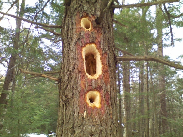 Julie Parrott of Alstead, NH, grabbed this photo of the handiwork of a Pileated Woodpecker while walking in the New Hampshire woods.