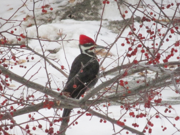 Peter Wells of New Hampshire got this photo of a Pileated Woodpecker in a bush among winter berries.