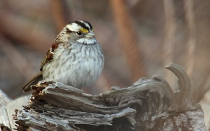 Photo by Chris Bosak A White-throated Sparrow rests on a log this spring.