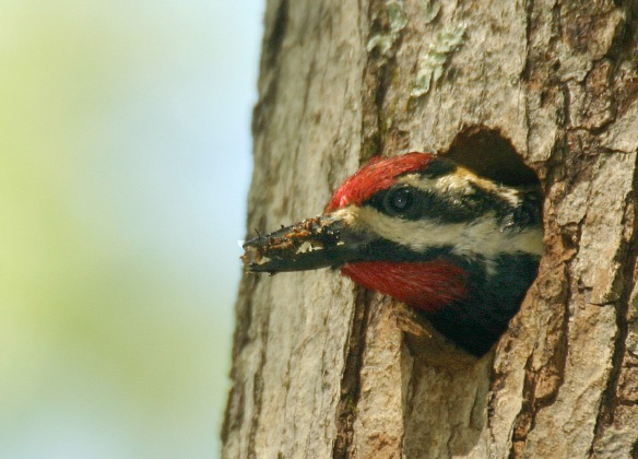 Yellow-bellied sapsucker cleans out its nest.