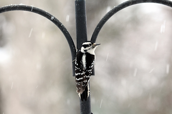 Photo by Chris Bosak A female downy woodpecker perches on a birdfeeder stand before heading to the suet feeder during the Dec. 14, 2013, snow fall.