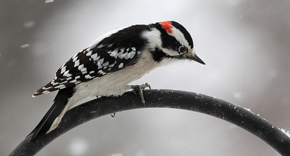 Photo by Chris Bosak A male downy woodpecker perches on a birdfeeder stand before heading to the suet feeder during the Dec. 14, 2013, snow fall.