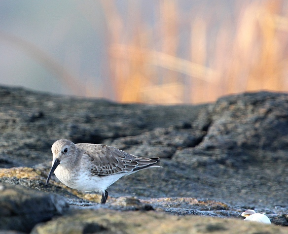 Photo by Chris Bosak Dunlin on a rocky island off the coast of Darien. (Dec. 2013)