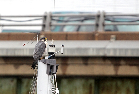 Photo by Chris Bosak A Peregrine Falcon rests on a sailboat mast in Norwalk, Conn., Dec. 2013.