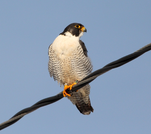 Photo by Chris Bosak Peregrine Falcon at Veterans Park in Norwalk, Dec. 2013.