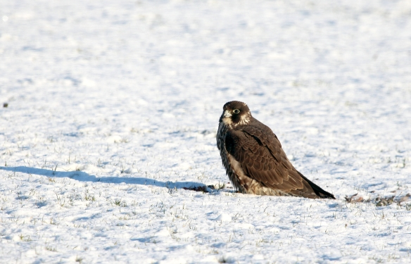 Photo by Chris Bosak An immature Peregrine Falcon sits on prey at Veterans Park in Norwalk, CT, Dec. 2013.
