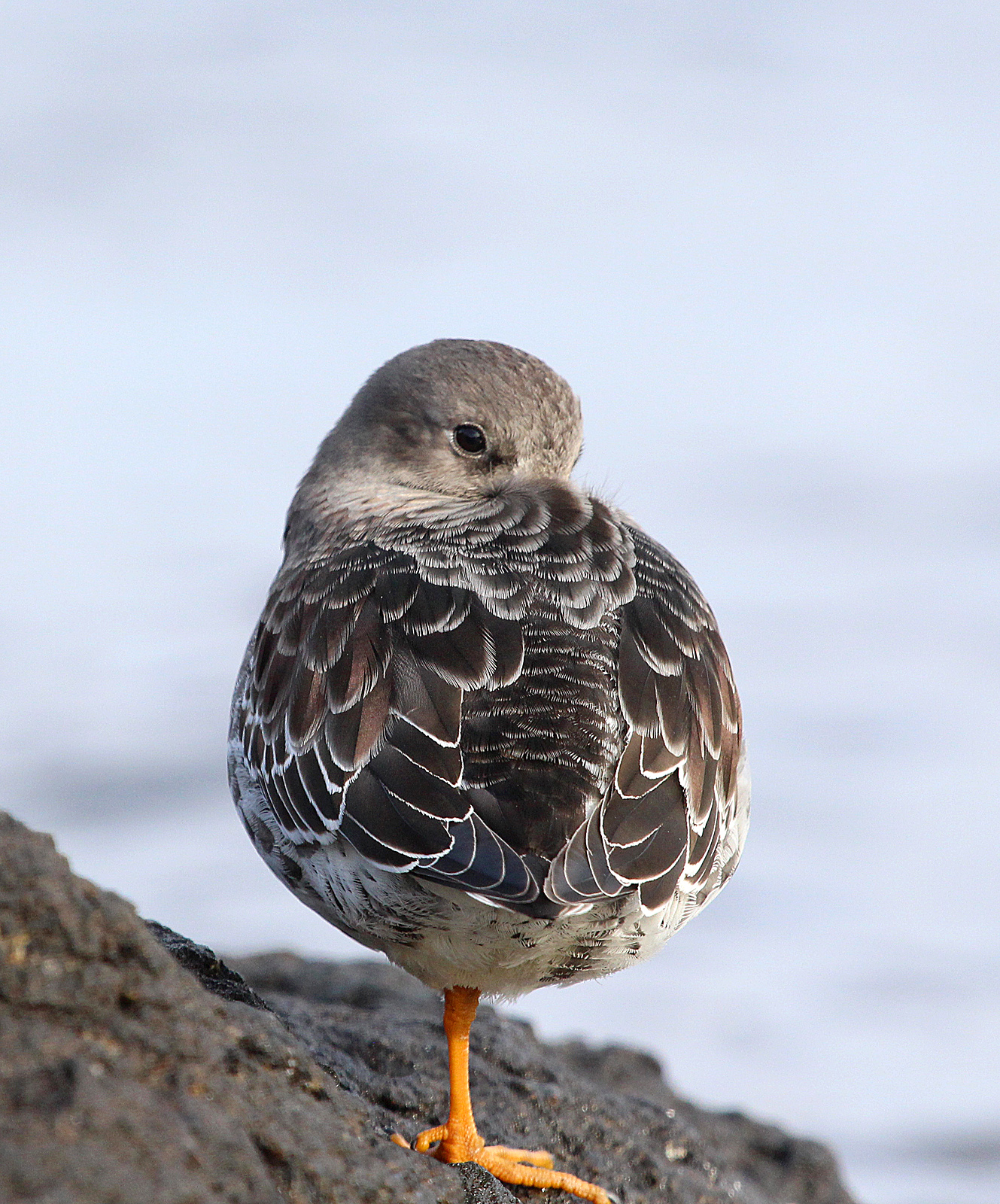Photo by Chris Bosak Purple Sandpiper on rocky island off the coast of Darien, CT. (Dec. 2013)