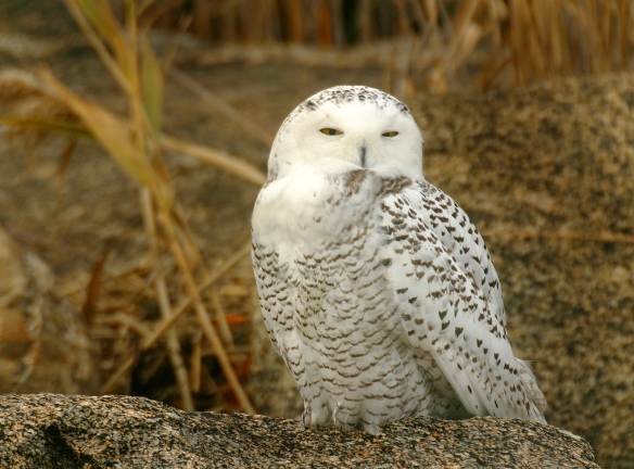 Photo by Chris Bosak A Snowy Owl sits on a rock on an island off the coast of Norwalk in November 2008.