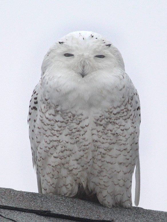 Photo by Chris Bosak A Snowy Owl perches on a roof top at Sherwood Island State Park in Westport on Monday, Dec. 23, 2013.