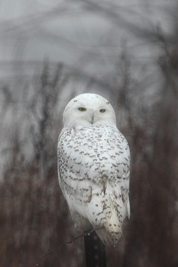 Photo by Chris Bosak A Snowy Owl perches on a fence post at Sherwood Island State Park in Westport on Monday, Dec. 23, 2013.