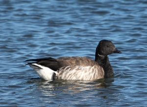 Photo by Chris Bosak A Brant swims off the coast of Norwalk this winter.