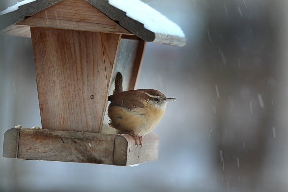Photo by Chris Bosak A Carolina Wren visits a feeder during a snow storm in New England, winter 2013-14.