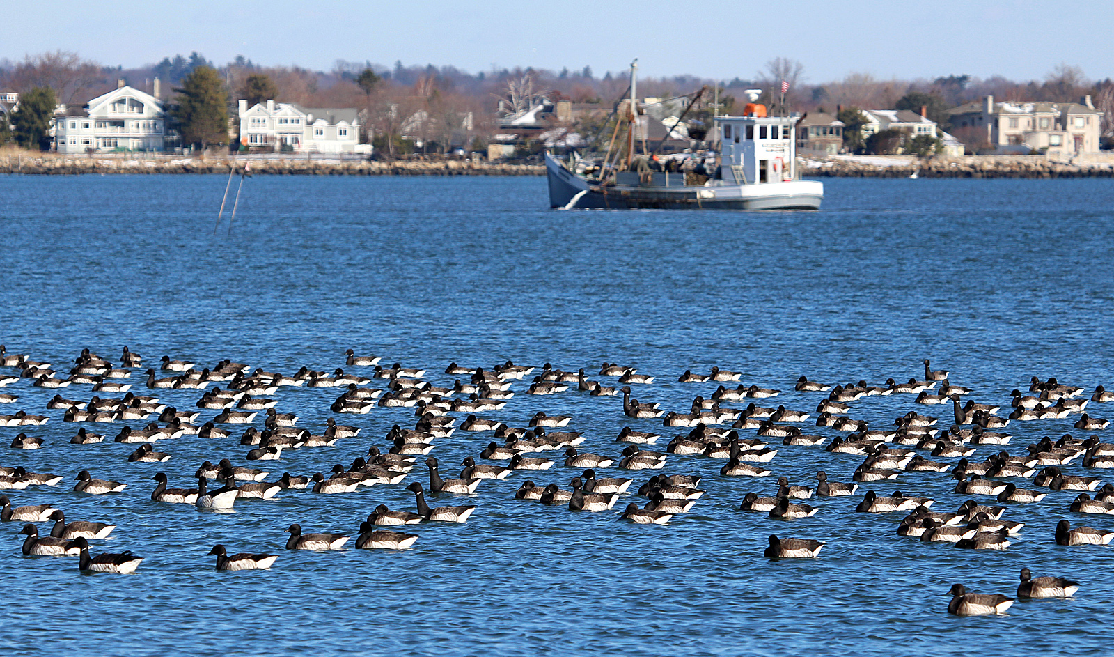 Photo by Chris Bosak A huge flock of Brant congregates as an oysterboat works the waters of Long Island Sound off Calf Pasture Beach in Norwalk this winter.