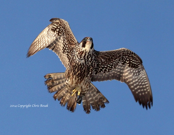 Photo by Chris Bosak A young Peregrine Falcon flies overhead in Norwalk, CT, Dec. 2013.