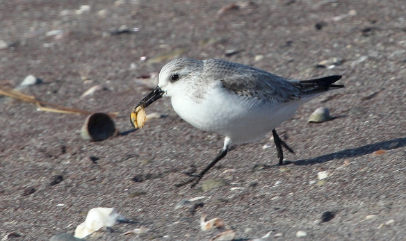 Photo by Chris Bosak A Sanderling runs with food on the shore of Long Beach in Stratford, CT, Jan. 2014.