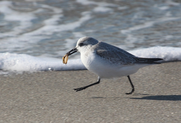 Photo by Chris Bosak A Sanderling runs along the shore with food at Long Beach in Stratford, CT, Jan. 2014.