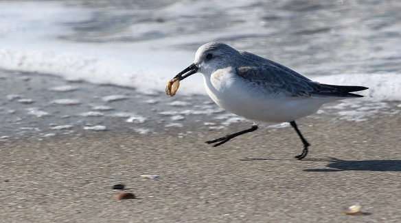 Photo by Chris Bosak A Sanderling runs along with food on the shore of Long Beach in Stratford, CT, Jan. 2014.