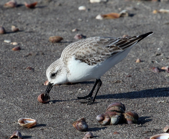 Photo by Chris Bosak A Sanderling on the shore of Long Beach in Stratford, CT, Jan. 2014.