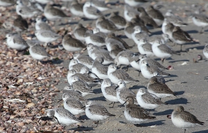 Photo by Chris Bosak Sanderlings and Dunlins on the shore of Long Beach in Stratford, CT, Jan. 2014.