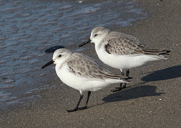 Photo by Chris Bosak Sanderlings on the shore of Long Beach in Stratford, CT, Jan. 2014.