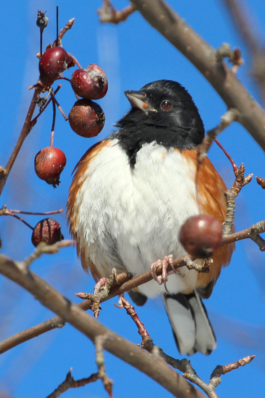 Photo by Chris Bosak An Eastern Towhee eats a crab apple during a cold winter day at Weed Beach in Darien, CT., Jan. 2014.
