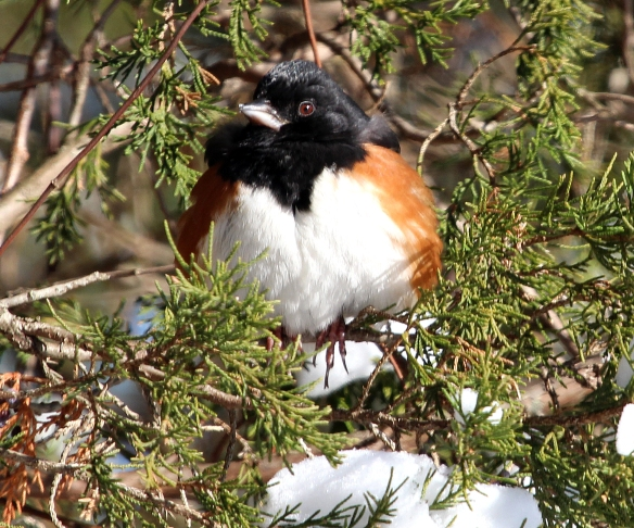 Photo by Chris Bosak An Eastern Towhee sits in a snowy evergreen during a cold winter day at Weed Beach in Darien, CT., Jan. 2014.