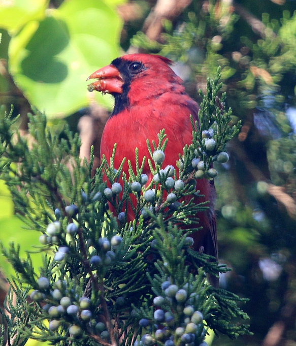 Photo by Chris Bosak A Northern Cardinal eats berries from a cedar tree.