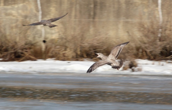 Photo by Chris Bosak A young Herring Gull chases away a young Peregrine Falcon at Holly Pond in Stamford in Jan. 2014.